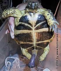 found that turtle phallus