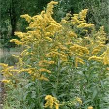 Giant Goldenrod