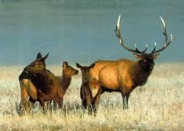 North American Elk. Mule Deer