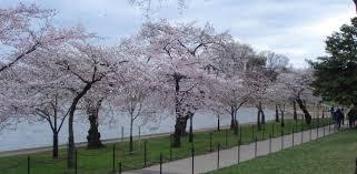 Cherry trees near the Tidal