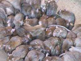 Massive plagues of rats swarm