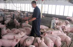 Scientists examine pig farming