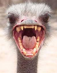 http://search.aol.com/aol/imageDetails?s_it=imageDetails&q=ostrich+head+in+sand&img=http://ralphlosey.files.wordpress.com/2009/03/ostrich_head.jpg&site=&host=http://ralphlosey.wordpress.com/2009/03/&width=95&height=123&thumbUrl=http://images-partners-tbn.google.com/images?q=tbn:QiCqwmsQoWYjlM:ralphlosey.files.wordpress.com/2009/03/ostrich_head.jpg&b=image?q=ostrich+head+in+sand&page=3&flv=1&s_it=rboxImgDtls&oreq=8198e421119691c2&icid=snap-pic&imgHeight=387&imgWidth=300&imgTitle=<b>Ostrich</b>+<b>head</b>+-+careful,+they+bite&imgSize=30496&hostName=ralphlosey.wordpress.com