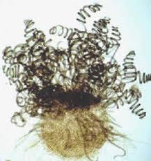 Chaetomium sp images