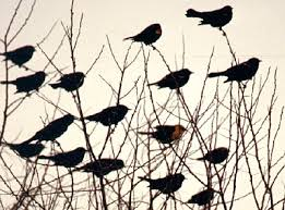 Red winged blackbirds.