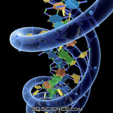 3d DNA model : 3DScience.com