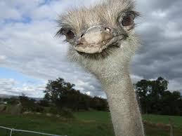 ostrich-0776