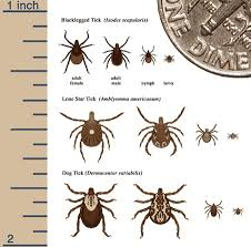 DVBID: Blacklegged Tick | CDC